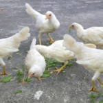 White Leghorn Growing and Egg Production Guide
