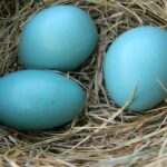 Blue Chicken Eggs: All You Need to Know