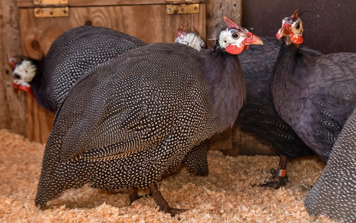 The guinea fowl: Anything you need to know