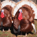 What is Bourbon Red Turkey Breed: Characteristics, Habitat, And More