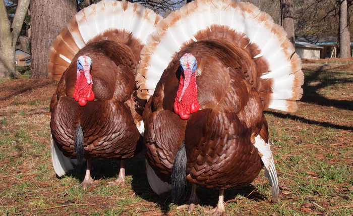 Turkey farming guide: How to raise and grow turkeys at home properly