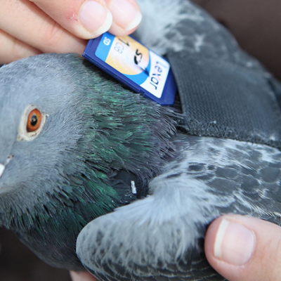 How to Train a Messenger Pigeon: 3 Easy Steps