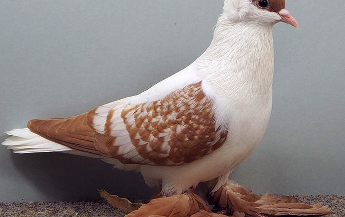 Top 10 Most Beautiful Pigeons in the World
