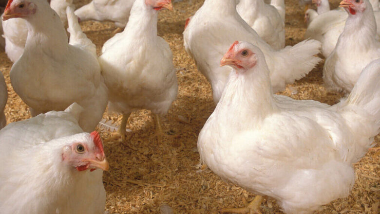 45 Days Broiler Chicken Production Guide