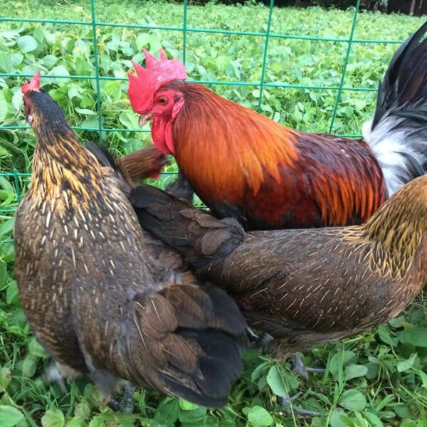 How to Raise Native Chicken for Profit