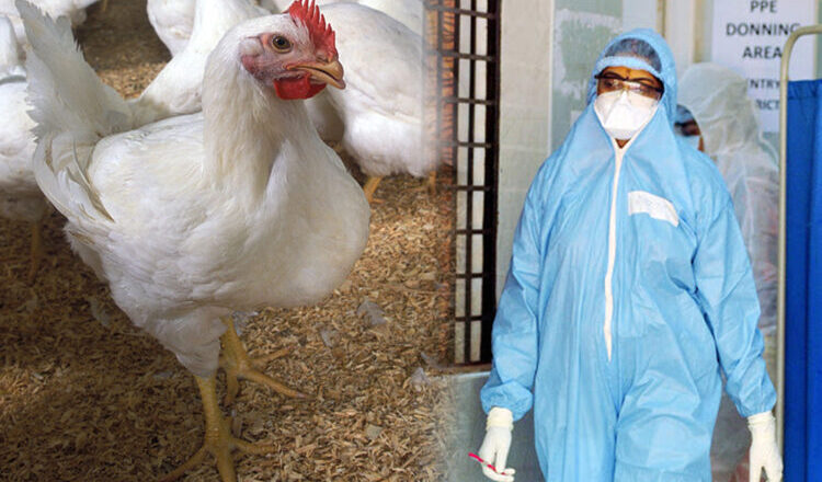 Can Humans Get Coronavirus from Chickens?