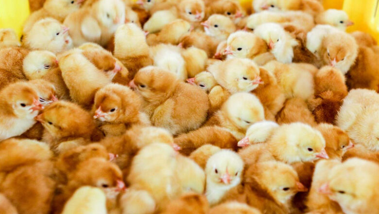 What is the Best Age to Buy Chickens?