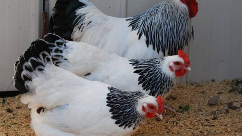 Glossary of terms related to chicken