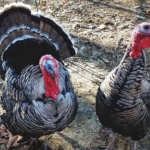What is Narragansett Turkey Breed: Behavior, Reproduction, and More