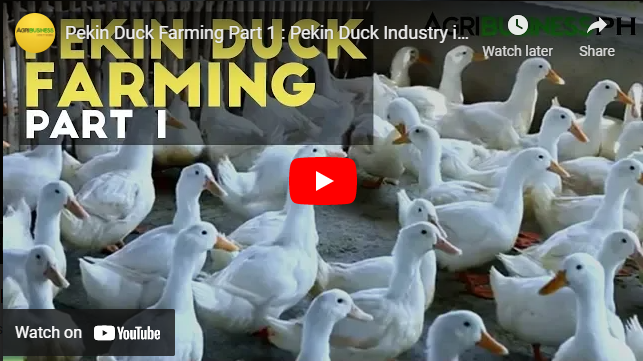 How To: Pekin Duck Breeding and Farming in the Philippines