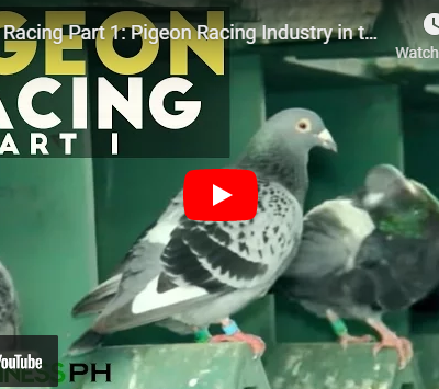 Racing Pigeon Breeding and Farming in the Philippines