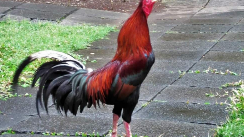 What is Peruvian fighting rooster