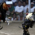 The laws and legalities of cockfighting in the Philippines