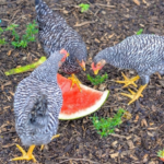 10 best fruits to feed your chickens