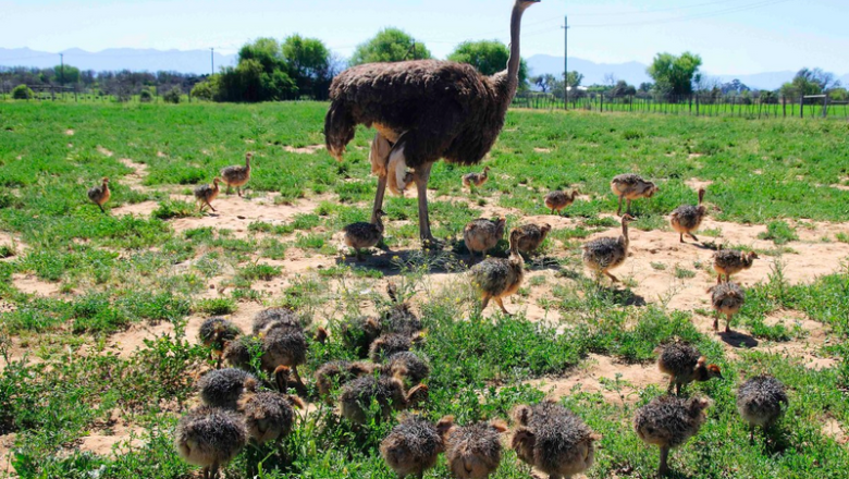 Ostrich farming guide: How to raise and grow ostrich
