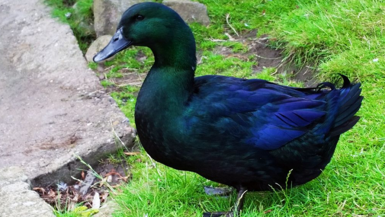 What is Cayuga Duck breed