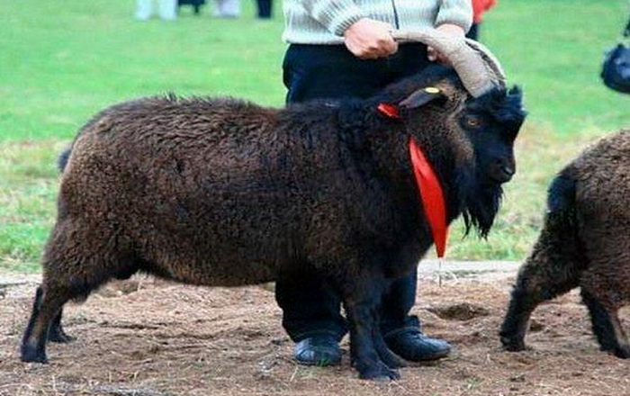 Pridonskaya Goat Breed: All you Need to Know