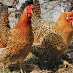 What is Siciliana Chicken Breed