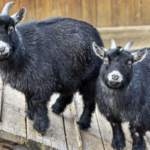 American Pygmy Goat Breed: All You Need to Know