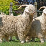 Soviet Wool Goat: All You Need to Know