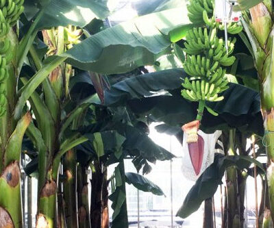 Can you Grow Bananas in Hydroponics?