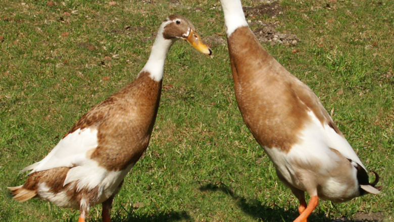 What is Indian Runner duck breed