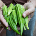 Okra Farming: How to Plant and Grow Okra for Profit