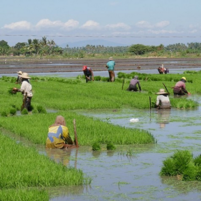 Pagtatanim ng Palay or Rice Farming: How to Plant and Grow Rice for Profit